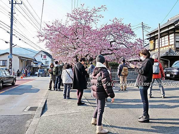 河津櫻祭 (63).JPG