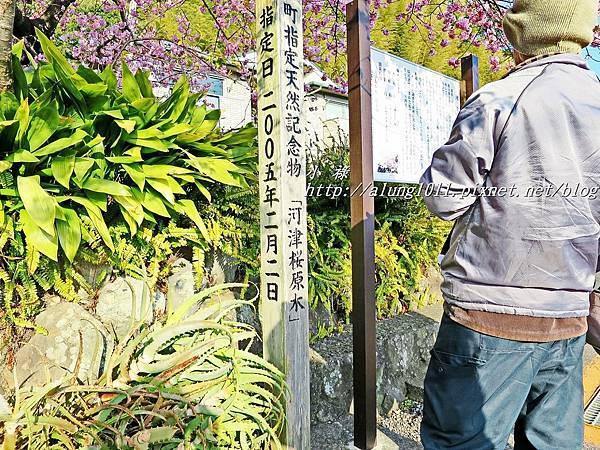 河津櫻祭 (64).JPG