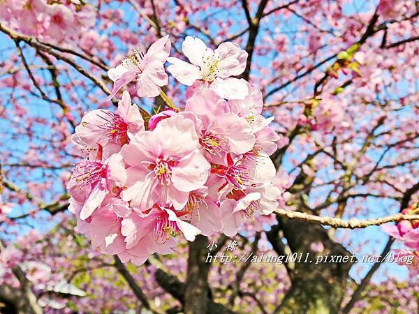 河津櫻祭 (69).JPG
