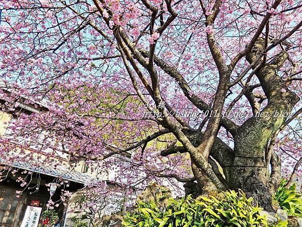 河津櫻祭 (70).JPG