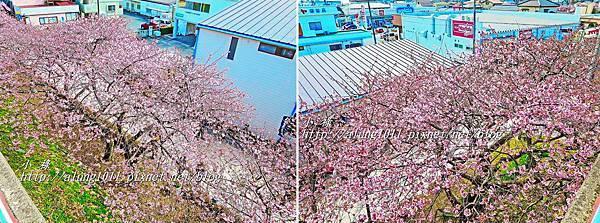 河津櫻祭 (11).jpg