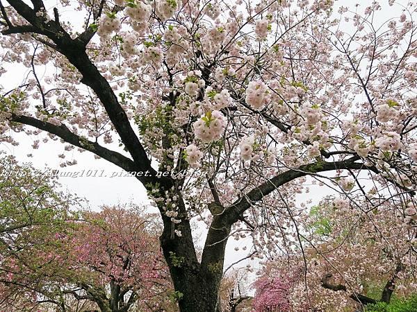 東京櫻花集錦 (33).jpg