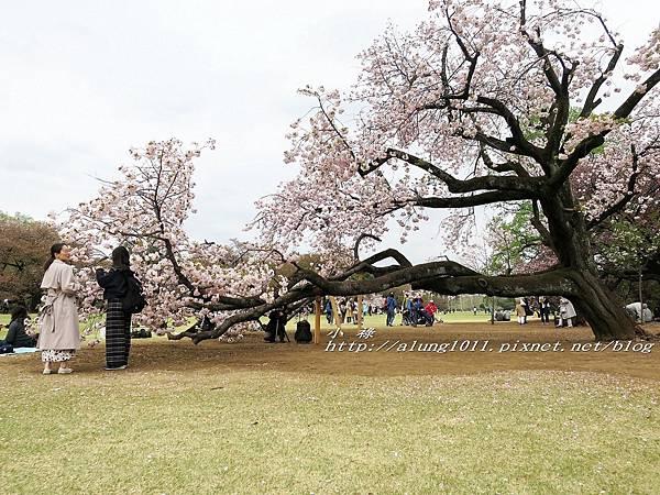 東京櫻花集錦 (38).jpg