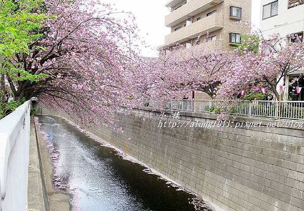 東京櫻花集錦 (77).JPG