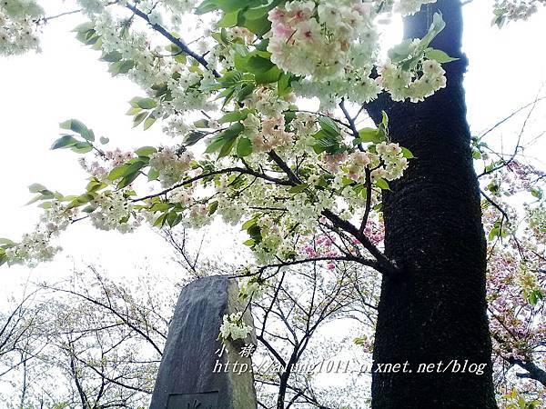 櫻花集錦 (93).jpg