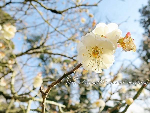 成田山梅祭 (48).JPG
