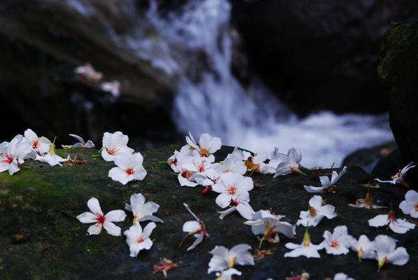 油桐花。。.jpg