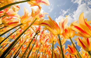 ist2_6068904-olympic-flame-tulips.jpg