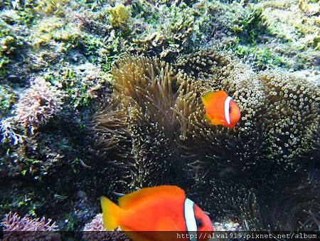 小丑魚 (6)