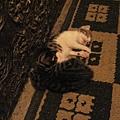 小貓真可愛.JPG