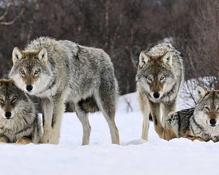 挪威-灰狼-雪地-1024x1280.jpg