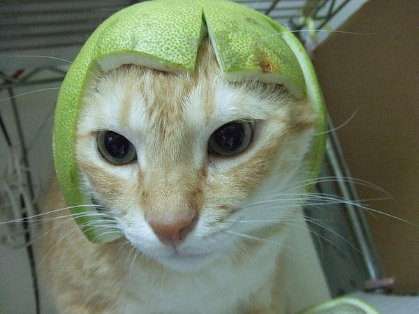 柚子貓,,柚子狗