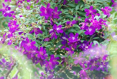 豔紫牡丹.JPG