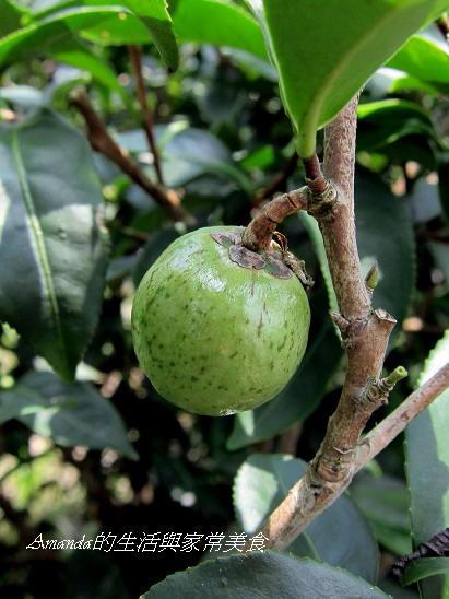 三泰有機農場-茶籽