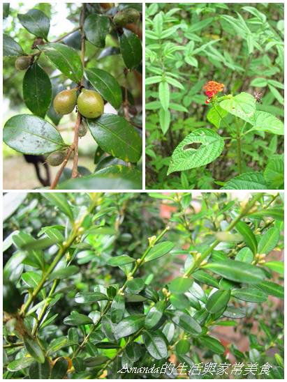東風有機農場-藥用植物