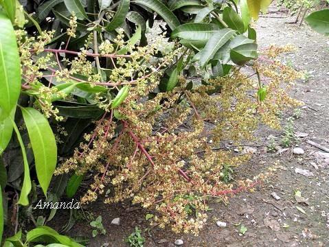 金煌芒果花 (1)