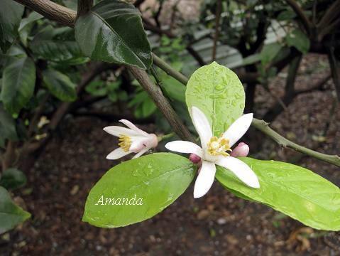檸檬花 (3)