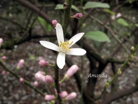 檸檬花 (2)