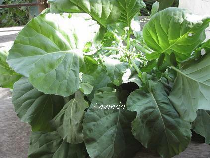採收芥藍菜