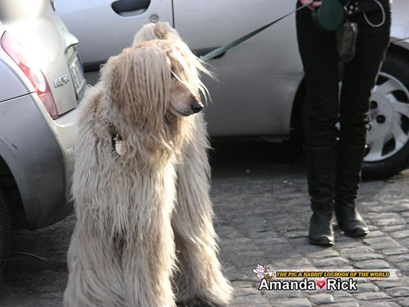 阿富汗獵犬