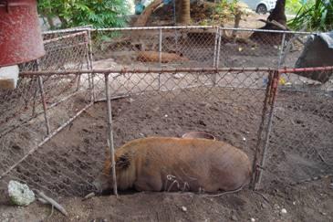 被饌養的台灣豬