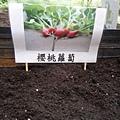 櫻桃蘿蔔.jpg