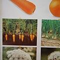 原來紅蘿蔔是長在土裡的啊