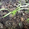 紅蘿蔔新葉