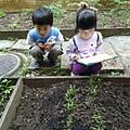 方案活動:今天輪到我們負責觀察與照顧菜園