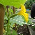 小黃瓜的雌花