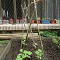 到菜園幫小黃瓜搭支架囉!5