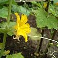 小黃瓜的「雄花」