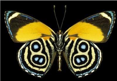 南美洲黃斑蝶