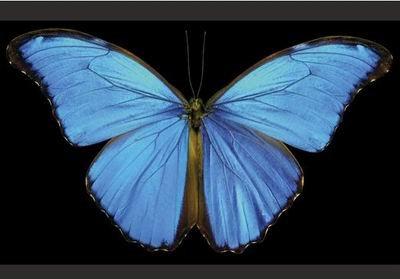 藍色大閃蝶