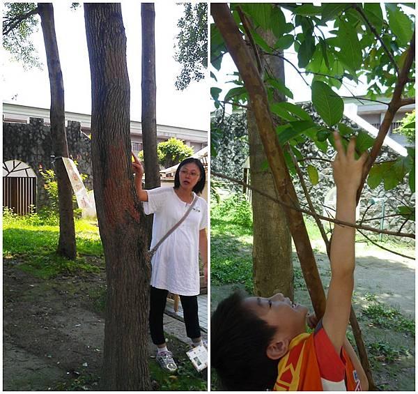 樟樹與芭樂樹