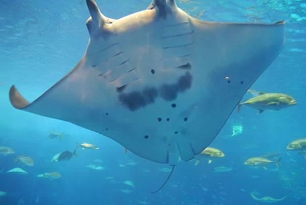 沖繩水族館魟魚.JPG