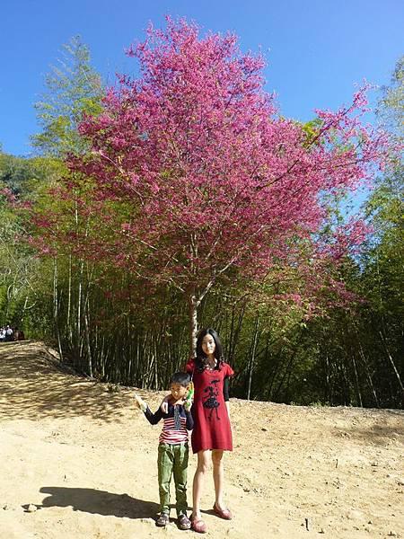 天梯櫻花.JPG