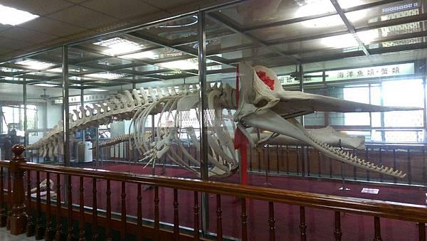 母子鯨標本.jpg