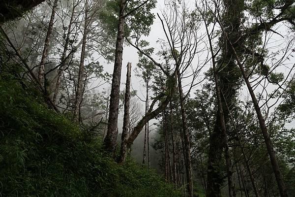 起霧神木園.JPG