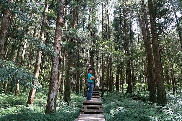 蕨園柳杉 (2).JPG