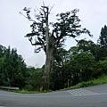 白嶺巨木2.JPG