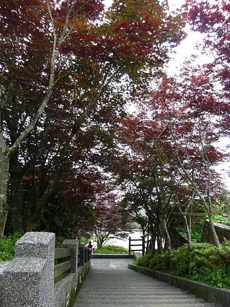 紫葉槭.JPG