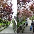 紫葉槭2.JPG