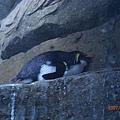 030.阿德烈企鵝