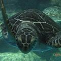 080倖免於難的海龜