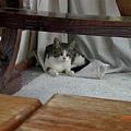 民宿的貓咪
