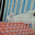 白色佛萊明巨兔