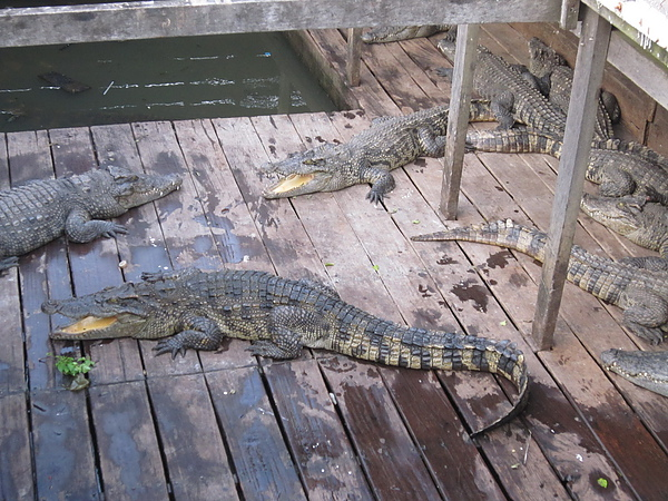 鱷魚...給觀光客看