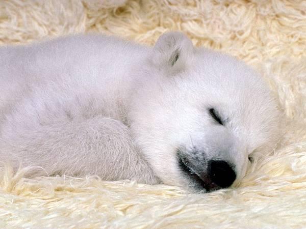 peaceful-dreams-polar-bear-1024x768