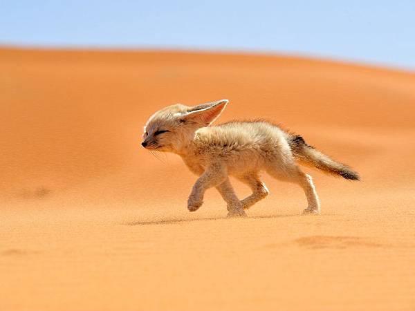 fennec-fox-morocco_68263_990x742